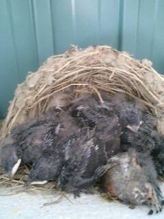 つばめはどうしたら巣を作らなくなるか?